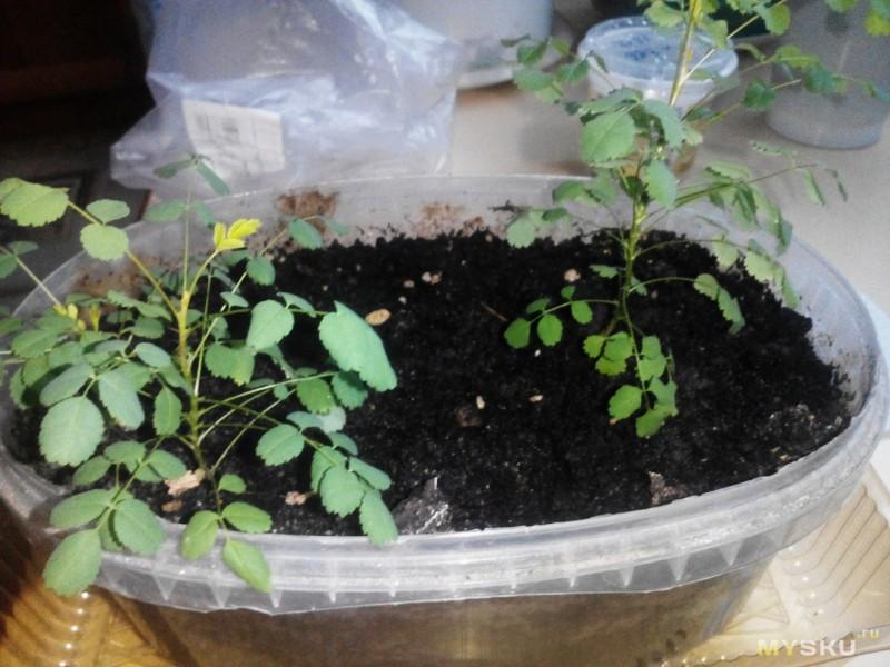 Как сажать семена розы в домашних условиях 19