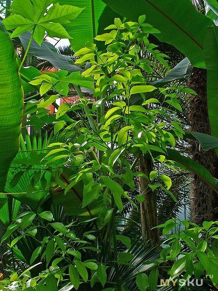 Общий вид растения. Wikipedia