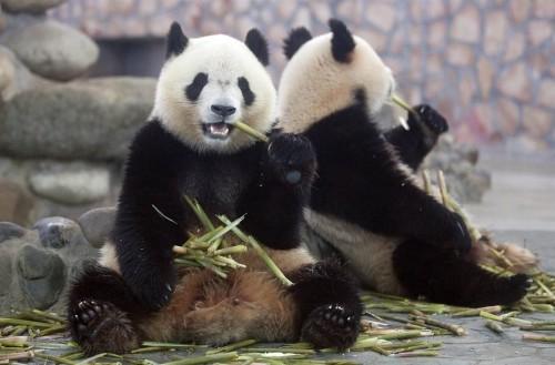 Панды одобряют