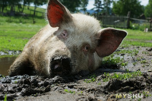 дружелюбная свинка